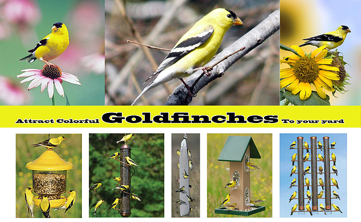 Attract Colorful Golfinches To Your Yard!