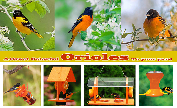 Attract Colorful Orioles To Your Yard!