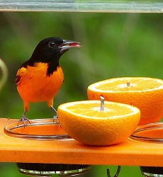 Birds Choice Oriole Feeder with Hanging Cable