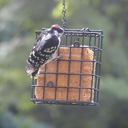 Birds Choice Suet Cage with Chain 6/Pack