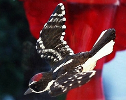 Downy Woodpecker Fly Through Window Magnet