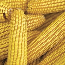 Ear Corn Bag of 12