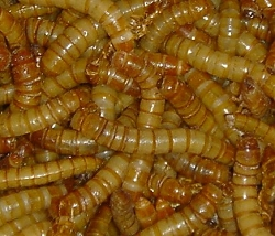 Giant Mealworms 500 Count