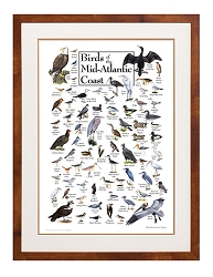 Peterson's Backyard Birds of the Mid-Atlantic Coast Poster