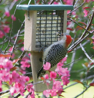 Birds Choice Recycled Plastic Tail-Prop Suet Feeder