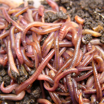 Bulk Red Wigglers (Red Worms)